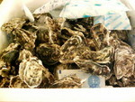 a box full of OYSTERS!!