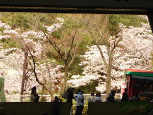 MetLifeDome内から見た桜