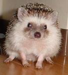 hedgehog-pom-050126