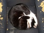 バケットシートを寝床にする猫