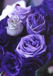 青い薔薇もどき
