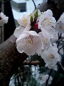 今年見かけた桜第一号