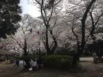 調神社の桜(明るい時間帯)