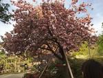 桜も咲いてた@あしかがフラワーパーク