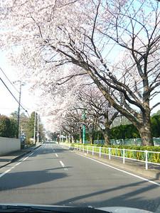 やっと桜が満開ですね^^