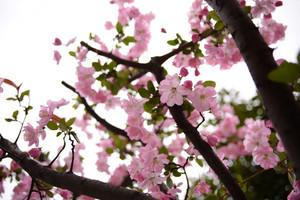 今年の桜は大変だ