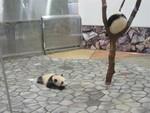 パンダの赤ちゃん、双子の愛浜、明浜
