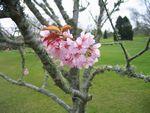 ハミルトンガーデンの桜