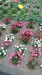 有栖川公園の花壇