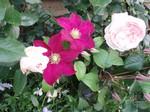 クレマチス&薔薇