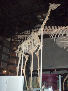 きりんの骨(国立科学博物館)