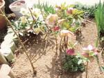 クリスマスローズの花壇