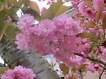 庭の八重桜は今年も盛況
