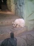 ウクライナ猫