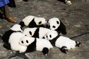 ねむねむ子パンダ