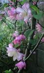 cherryblossom2009-04-12