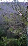 cherryblossom2012-04-07