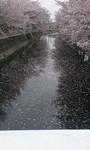 cherryblossom2012-04-16