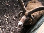 マンクスロフタン種の羊