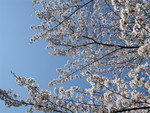 桜もあっという間