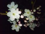 桜がもう満開近いよ♪