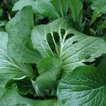 虫食い菜っ葉