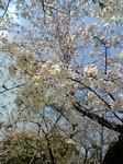 長居公園でとった桜。
