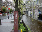 三条木屋町高瀬川沿いの桜