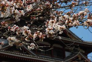 桃山城の桜