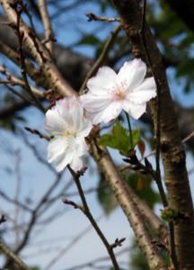 桜が・・・