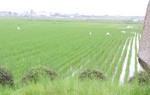 みどりの田圃でシラサギが食事中