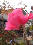 開いた四季咲きバラ