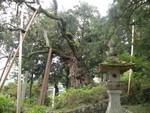 県天然記念物 ウラジロガシ