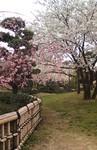 杖の渕公園の桜