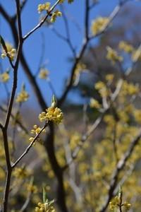 クロモジの花
