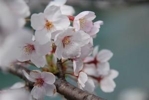 仁淀の咲くら