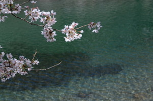 池川の咲くら