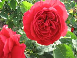 イングリッシュローズ English-Rose