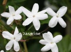 ジャスミン Jasmine