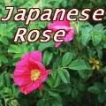 ハマナス Japanese Rose