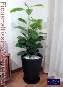 観葉植物 ギフト 名古屋