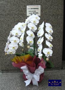 胡蝶蘭 名古屋 コチョウラン
