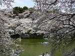 千鳥ヶ淵の桜♪