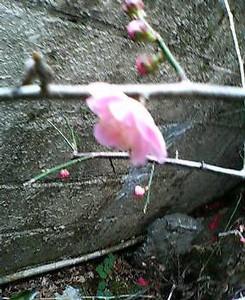 去年植えた庭の枝垂れ梅