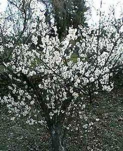 呉の郷原にて。散歩中の梅の木