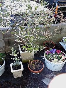庭のオリーブ