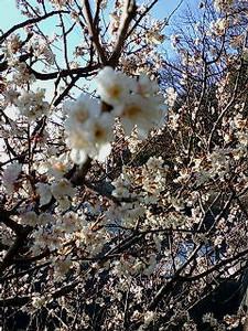 呉の山にて。梅の花