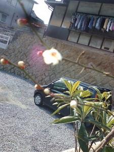 早く咲きすぎびっくりの梅