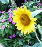 ヒマワリとオシロイ花