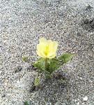 砂浜に咲くこの花は何て名前ですか?